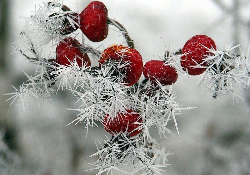 Зимний шиповник