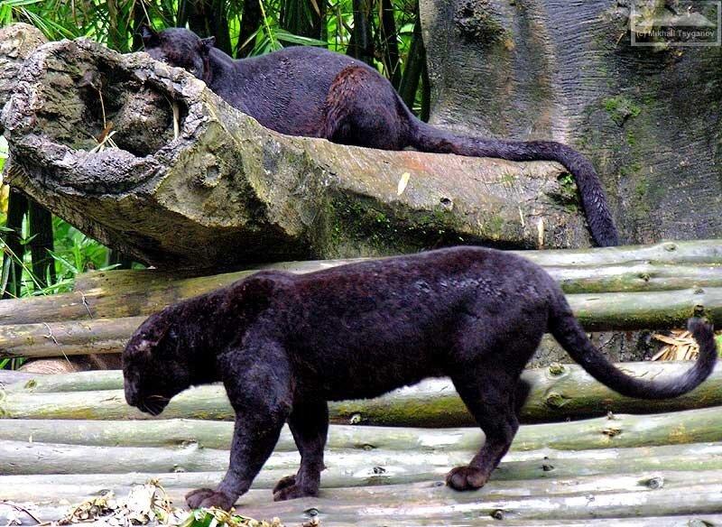 Яванские леопарды