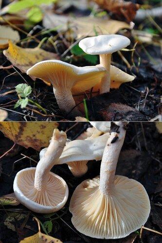 Гигрофор берёзовый (Hygrophorus hedrychii) Автор фото: Владимир Брюхов