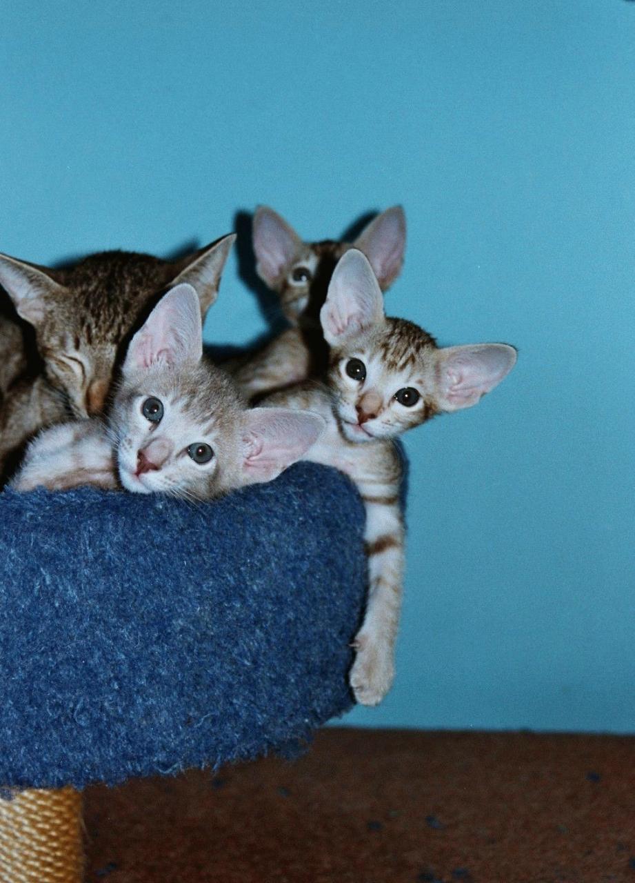 Ушастые кошки Кошки