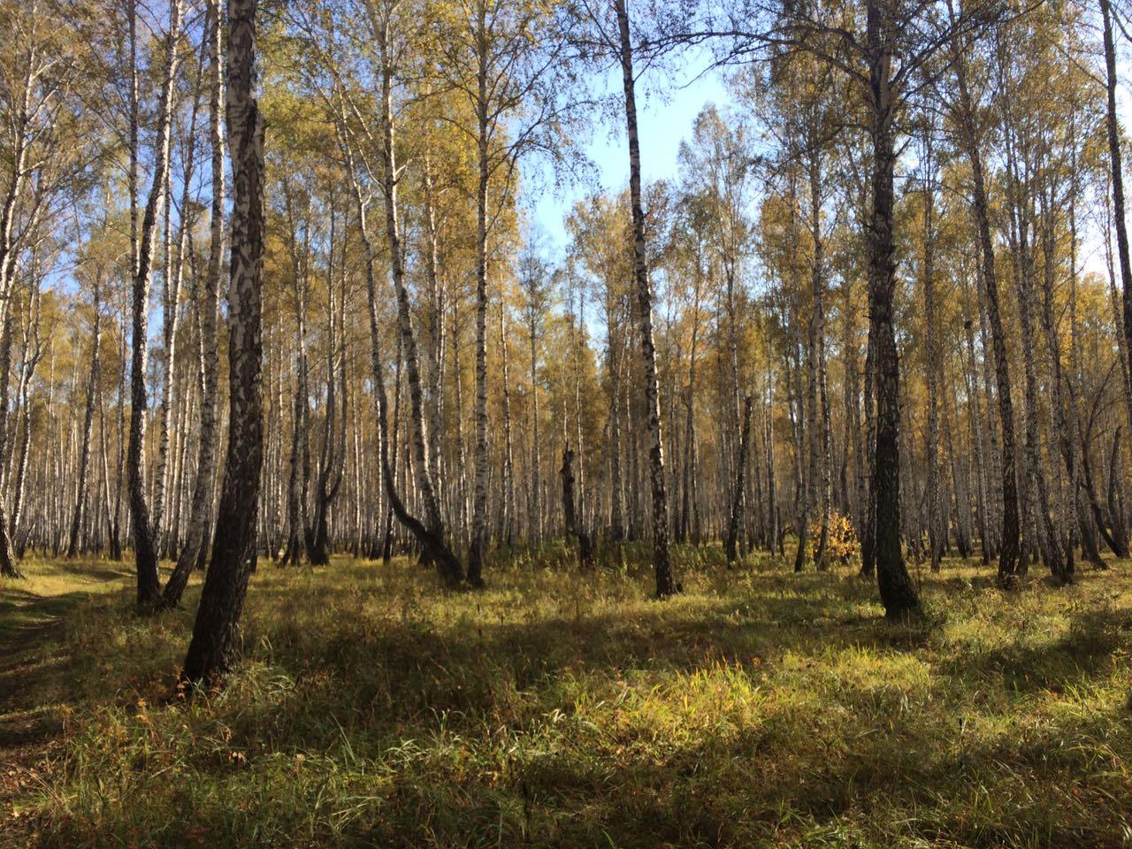 Золотая осень в южноуральских берёзовых лесах... (26.09.2016)
