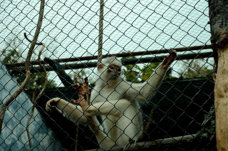 Суматранский лангур