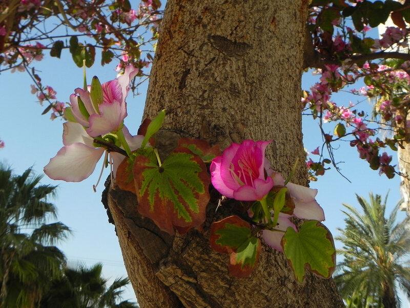 Цветы орхидейного дерева.
