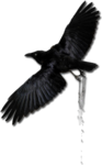 black bird.png