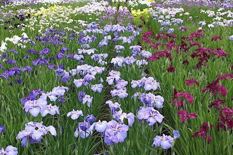 Водный сад ирисов в Японии / The water garden iris Suigo Sahara / Фото + видео