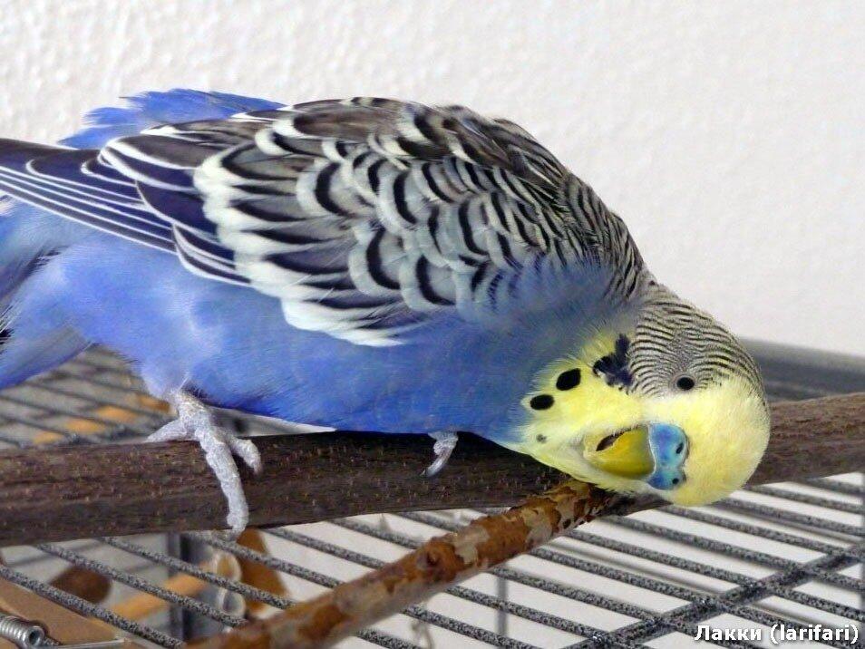 Сиреневый волнистый попугай