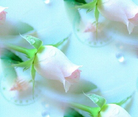 роза и ракушка(фон с цветком и ракушкой)