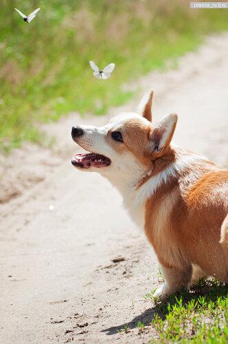 пофотографирую Ваших собак! 0_133b97_df2c25f9_L