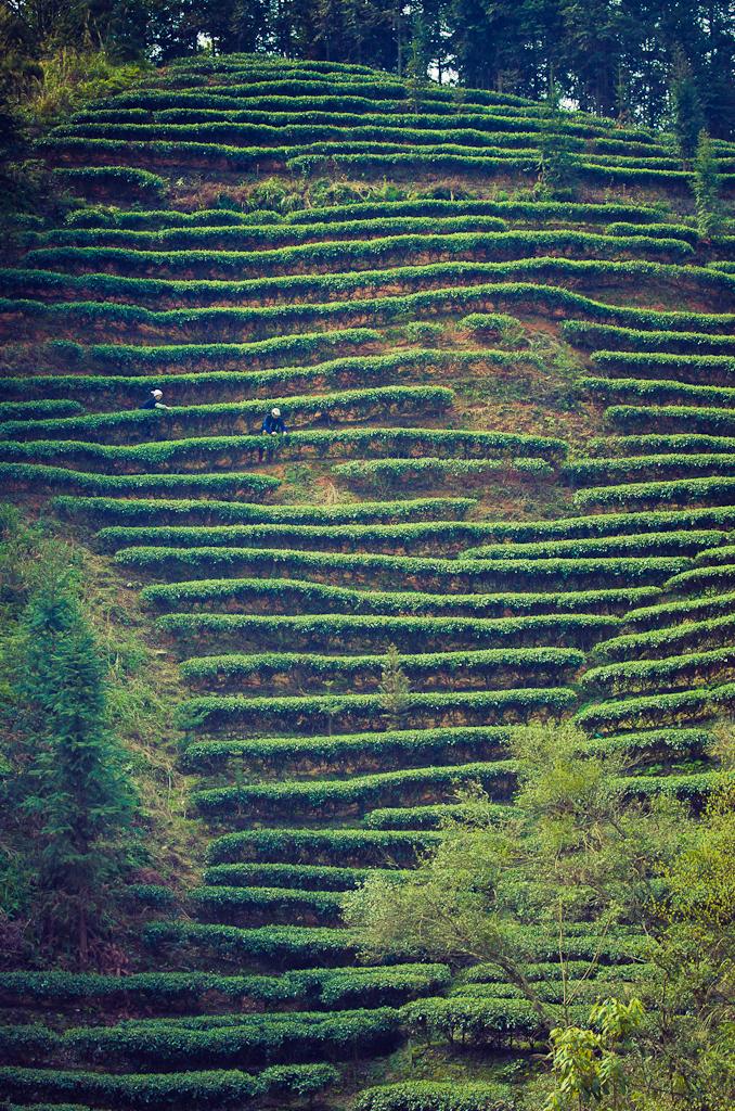 11. А так выглядят чайные террасы в Китае при съемке на ФР=70 мм.