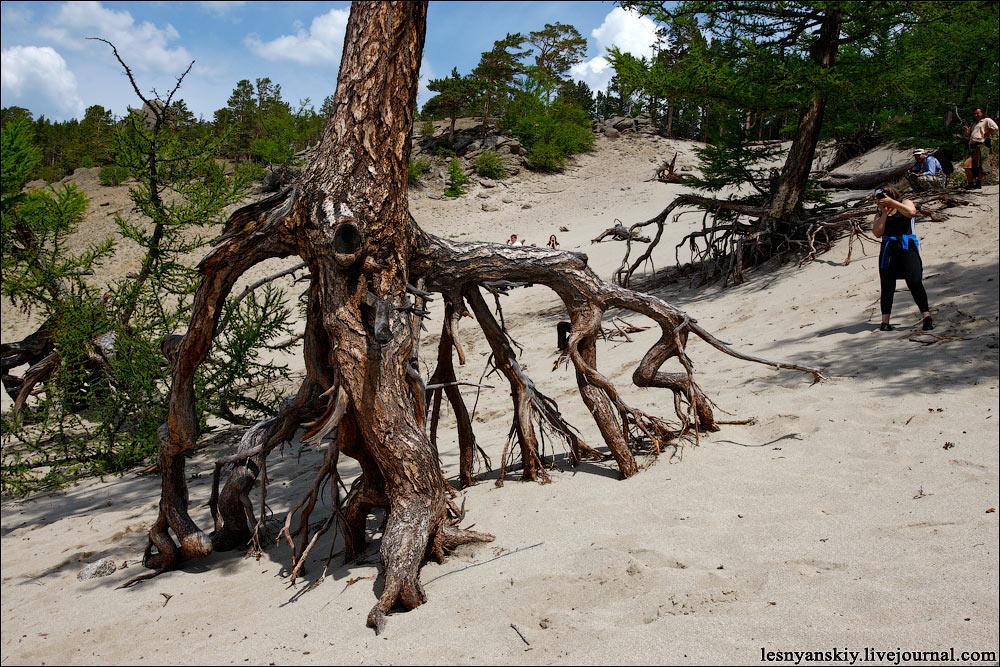 Ходульные деревья в бухте Песчаной