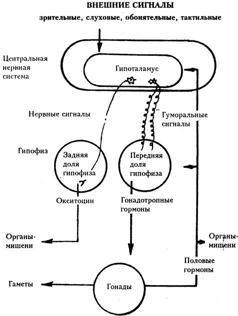 Рис 8.5.  Схема гормональной регуляции размножения.
