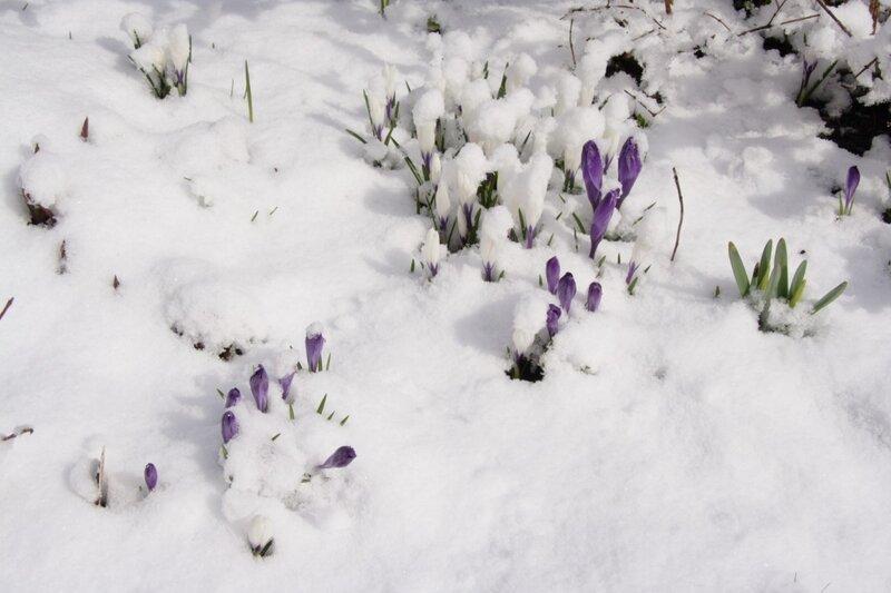 Крокусы, апрель