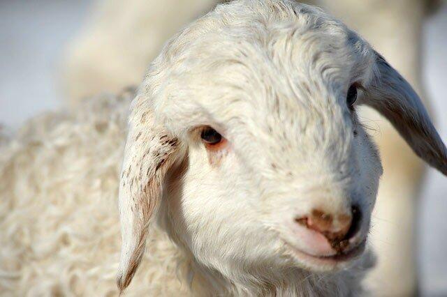 Мясное скотоводство и тонкорунное овцеводство развивают в Тыве