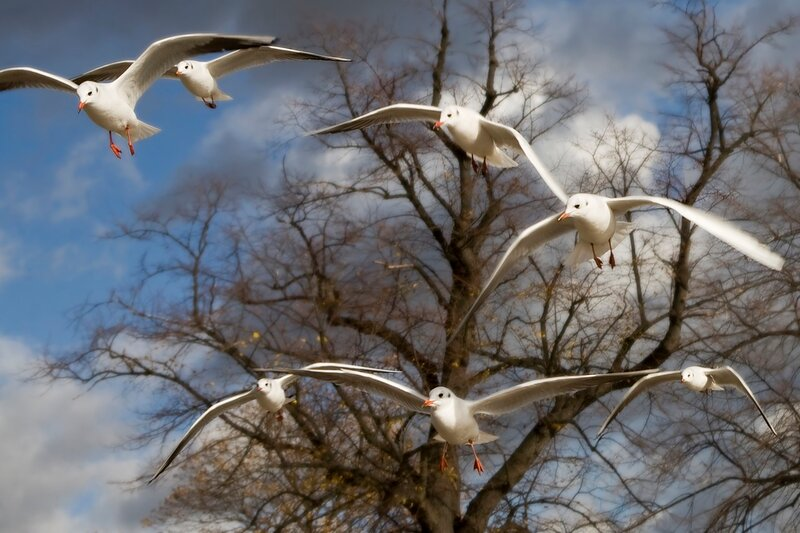 sea-gull flying  in Hyde Park