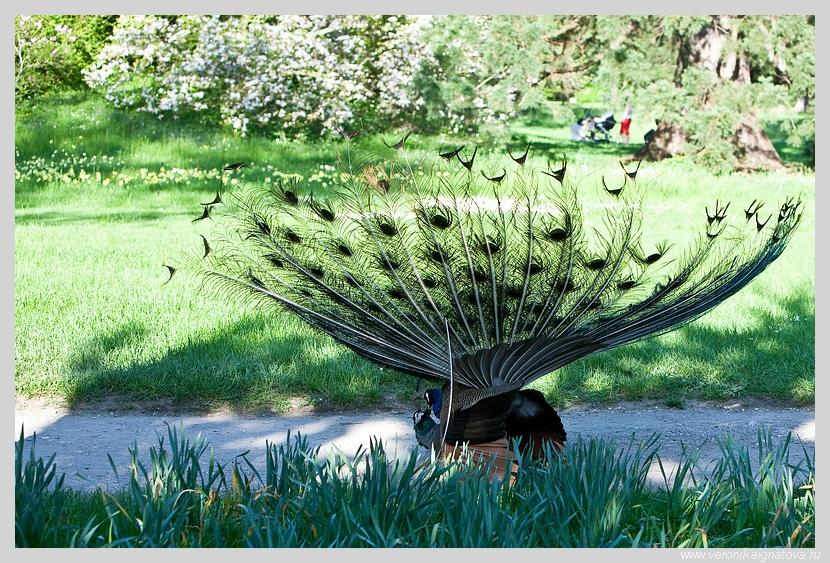 Брачные игры павлинов в Булонском лесу