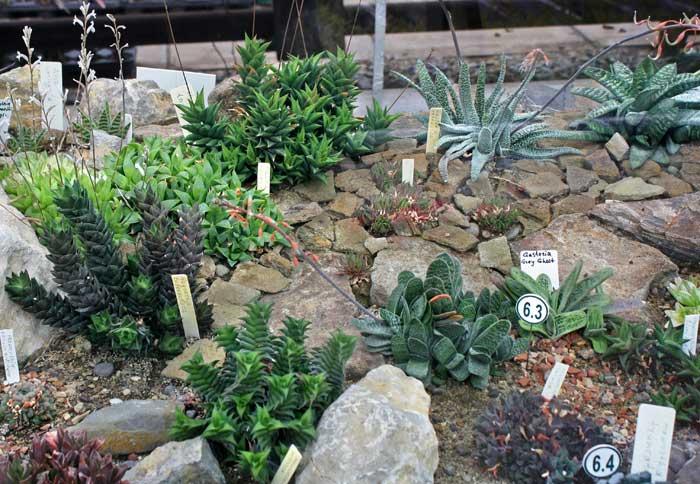 Кактусы и другие суккуленты Никитского сада