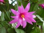 Рипсалидопсис, пасхальный кактус