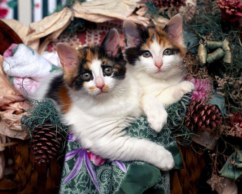 Кошки  0_52952_1d2a594c_XL