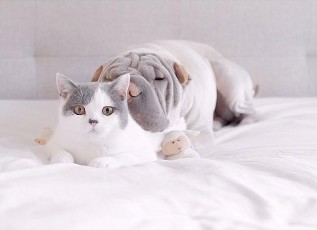 Самый фотогеничный шарпей в мире и его друг котик