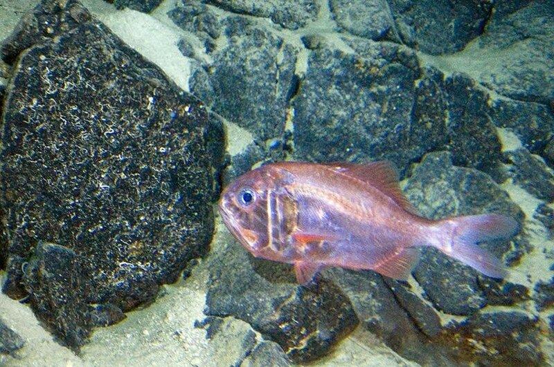 Хоплостет — вид глубоководных рыб, которые достигают половой зрелости после 20 лет и могут жить до 150 лет