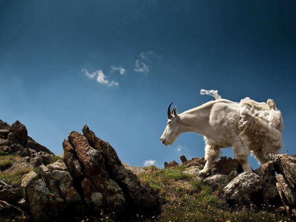 Горный козел, Колорадо