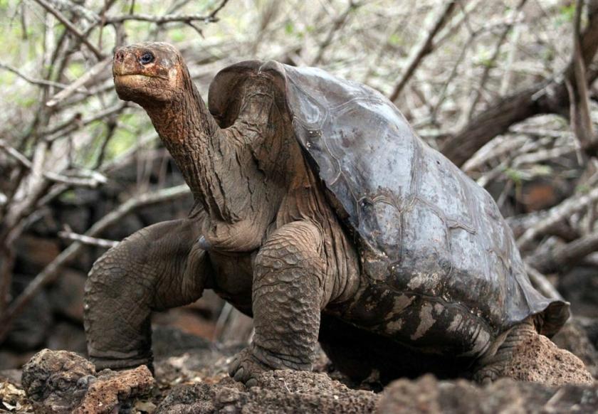 Померла остання в світі слонова черепаха