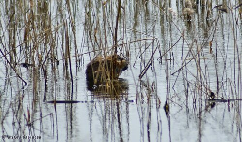 озёрские ондатры. 2014 год