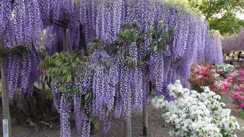 Парк Ashikaga Flower - чудо Японии