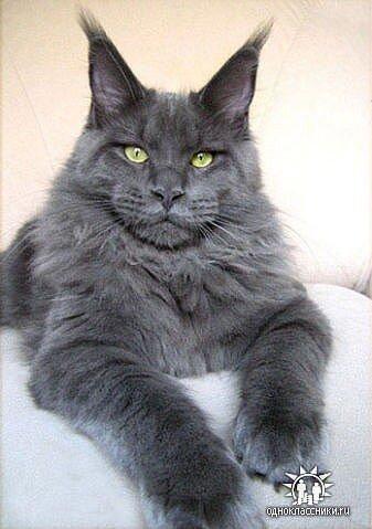 О породе мейн кун, кошки и коты мейн куны.
