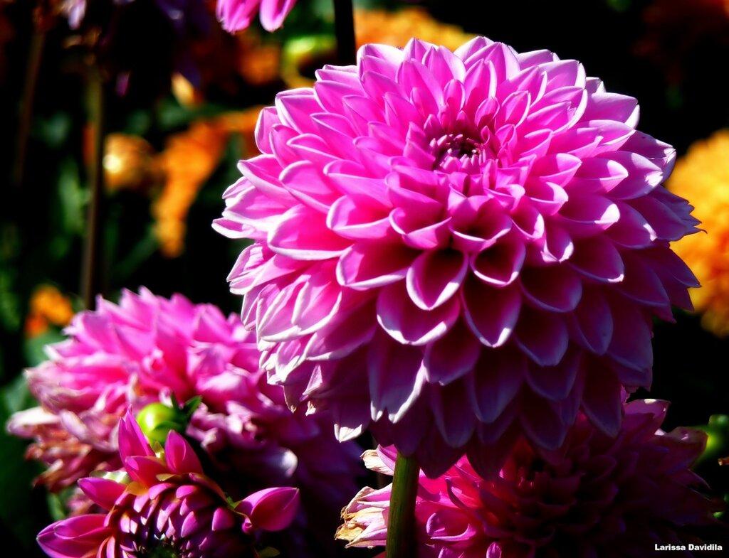 осенние цветы фото названия