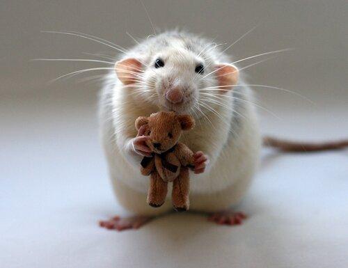 крысы, фотографии крыс