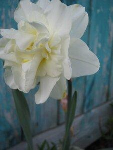 Орхидейный нарцисс в цветнике Любови Алексеевны.