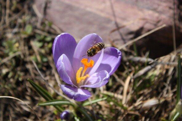 весна, крокусы