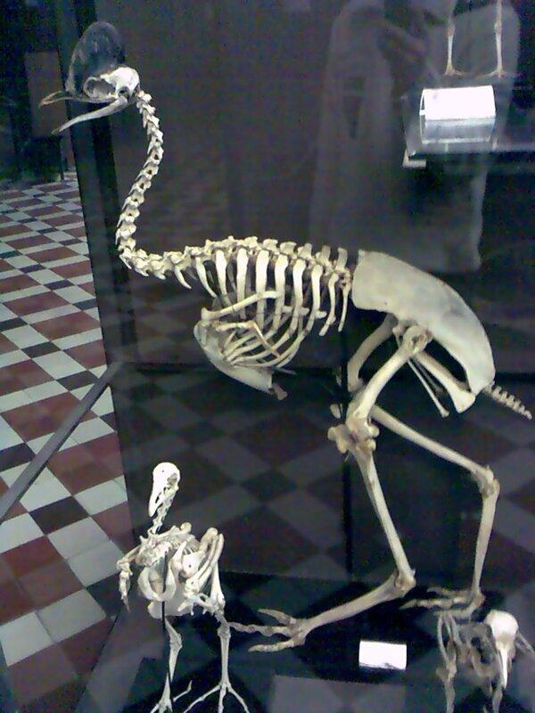 Cassowary skeleton - photo#14