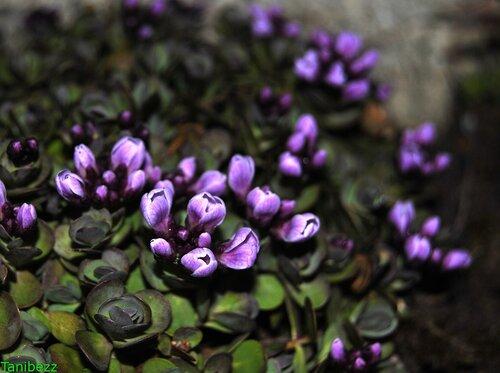 Крылотычинник круглолистный / Aethionema rotundifolium