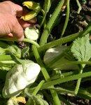 патиссон - овощная тыква, молодые плоды можно есть в сыром виде, малосольном и мариновать. Зрелые плоды тушить