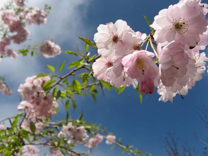 цветение, пышные цветы, весна, природа.