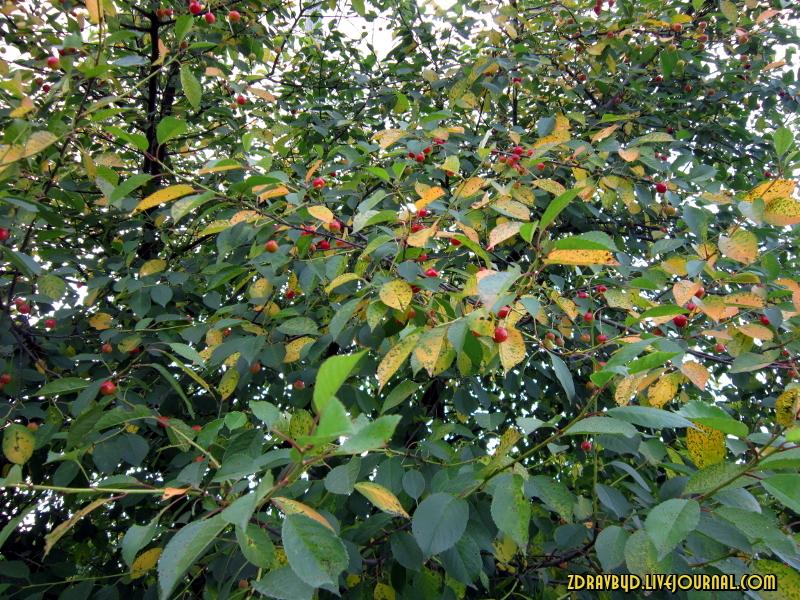 вишня ягоды