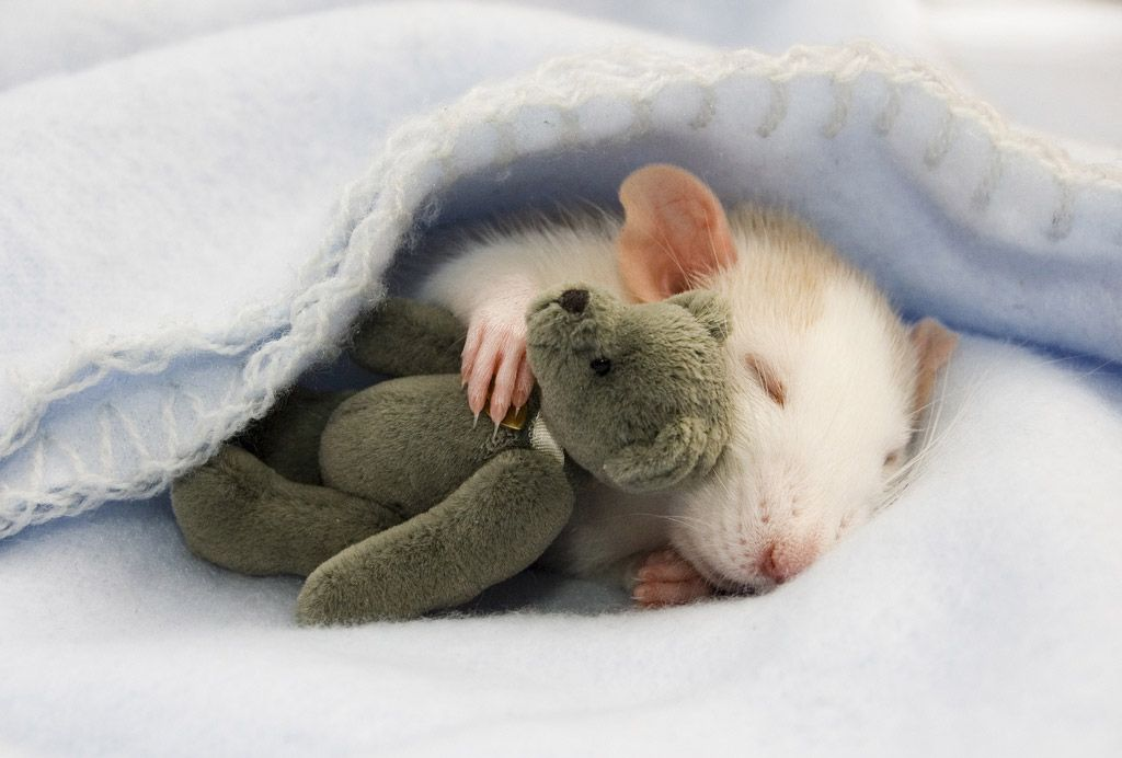 Очень домашние крысята