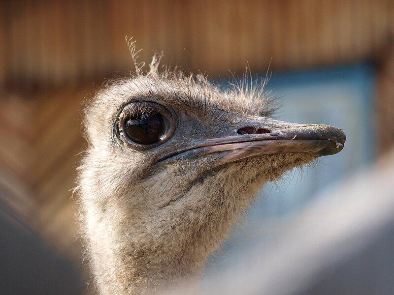 Страус на ферме в Белореченске (Struthio camelus)