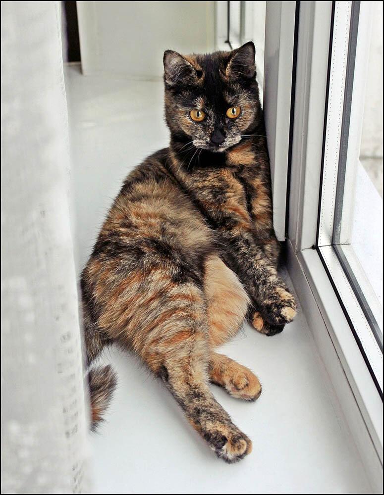 Черепаховая кошка.
