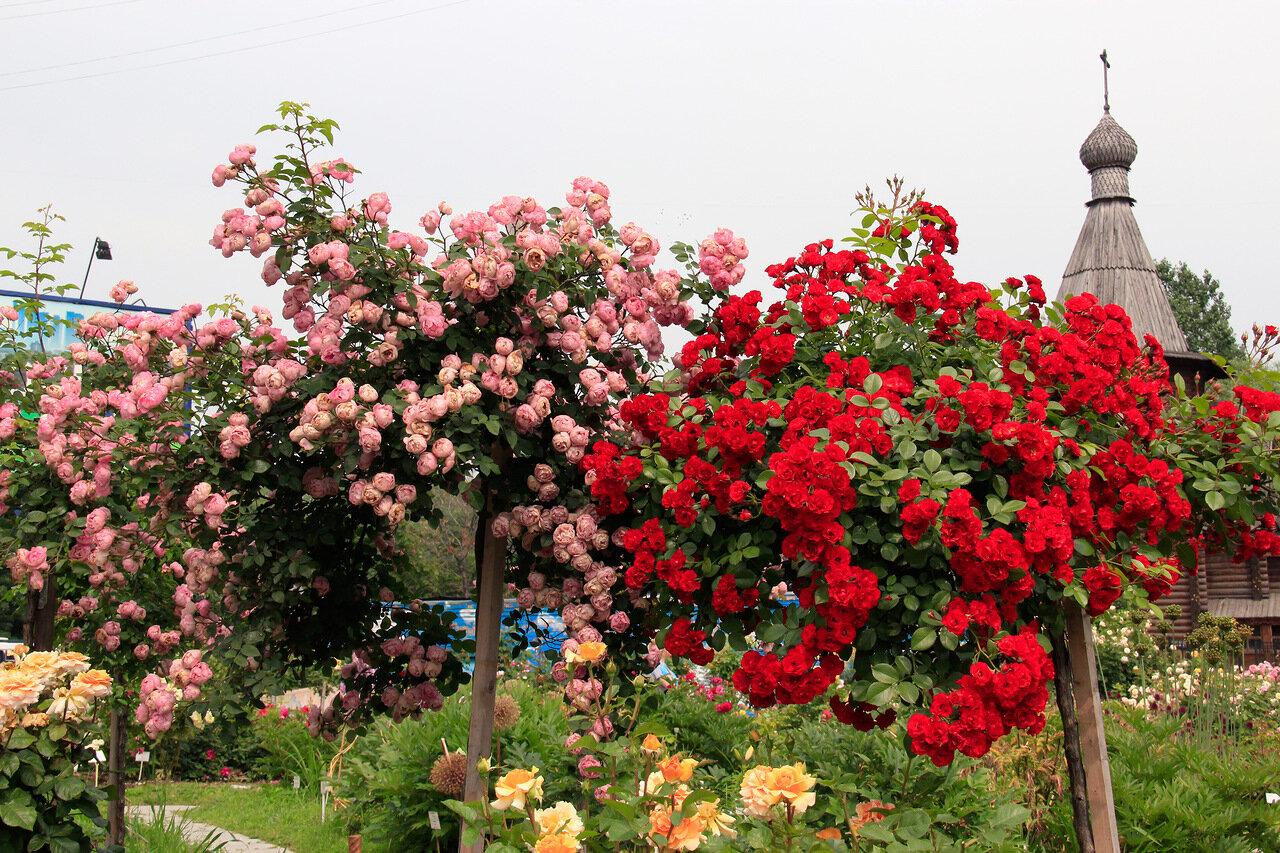 Штамбовая плетистая роза 1
