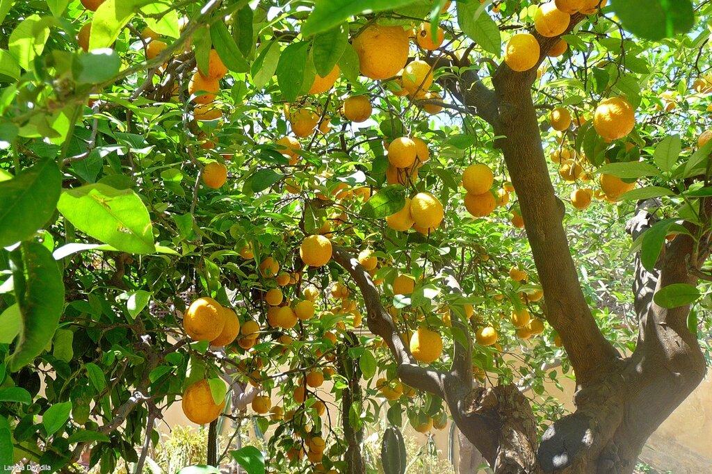 Лимонное дерево.