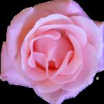 FarmerLisa_SprWhisp_Flower-RoseBloom.png