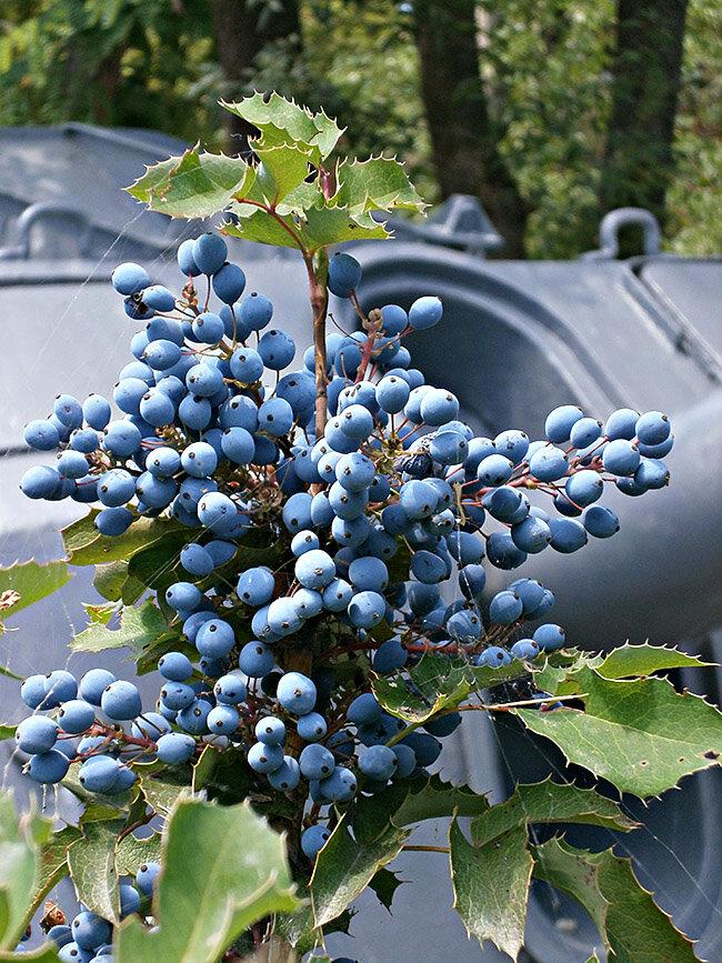 Магония цветущая с плодами виноградными