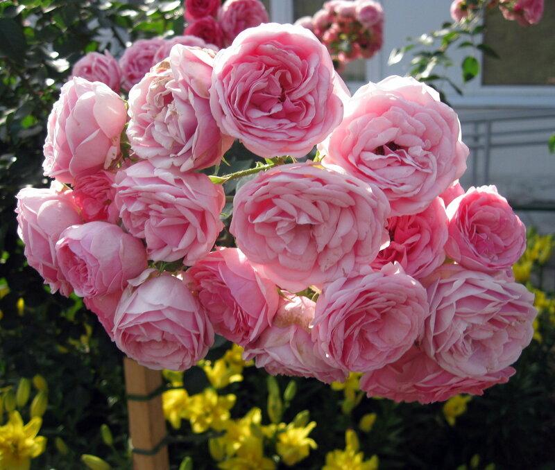 Розовый салют