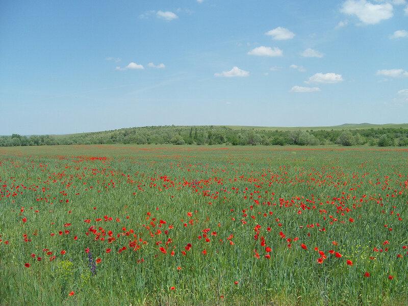 маковый луг к югу от поселка Зуя