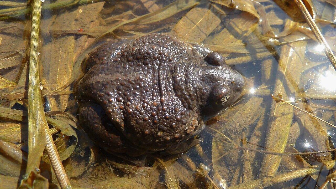 Чесночница обыкновенная(Pelobates fuscus). Автор фото:Сергей Апполонов