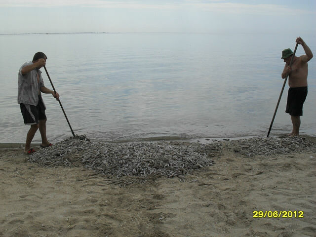 Мор бычка а Азовском море.