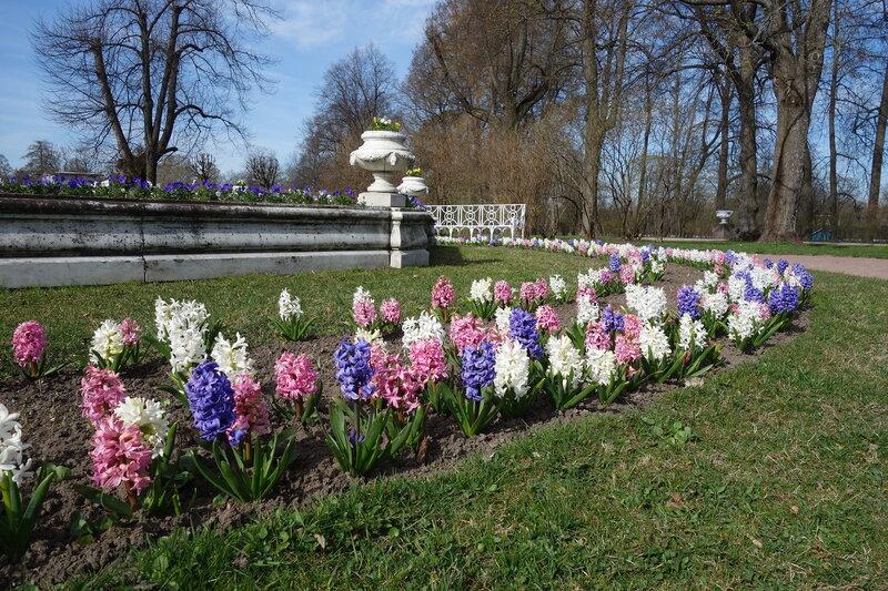 В Екатерининском парке цветут гиацинты